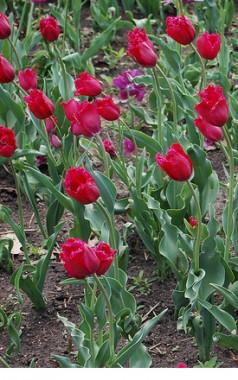 Тюльпан Gipsy Love смотреть