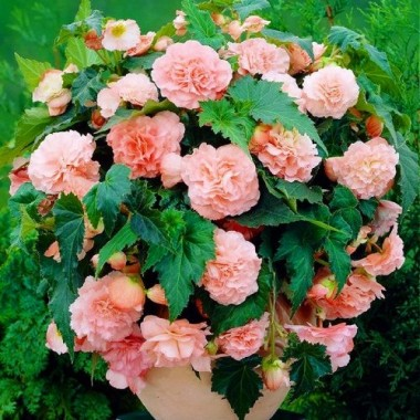 Бегонія Pendula Cascade Pink фото