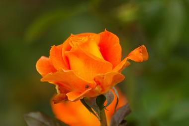 Троянда Flora Danica фото