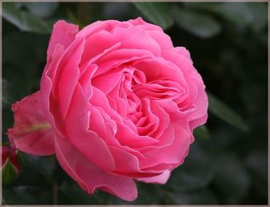 Троянда Leonardo da Vinci почтой