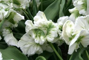 Тюльпан White Parrot почтой