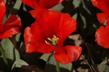 Тюльпан Grand Prestige смотреть