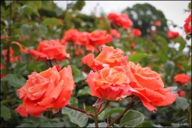 Троянда Prinsesse Marie фото цена