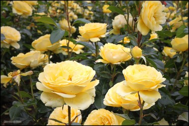Троянда Marseliesborg в киеве