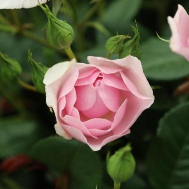Троянда Natascha Richardson смотреть