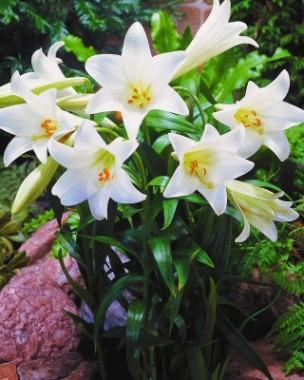Лілія White Present фото