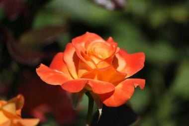 Троянда Flora Danica купить онлайн