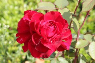 Троянда Look Good...Feel Better фото