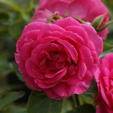 Троянда Lea Renaissance описание