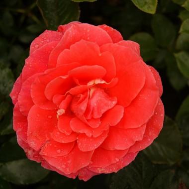 Троянда Prinsesse Marie описание