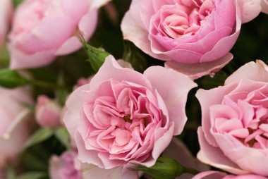 Троянда Natascha Richardson описание