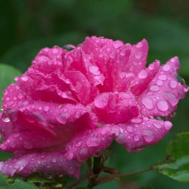 Троянда Zephrine Drouhin описание