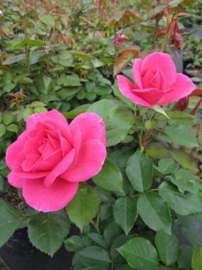 Троянда Lea Renaissance интернет-магазин