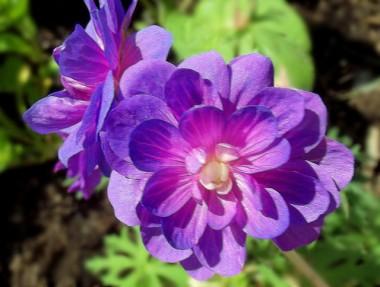 Герань Plenum Violaceum фото цена