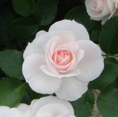 Троянда Aspirin Rose описание