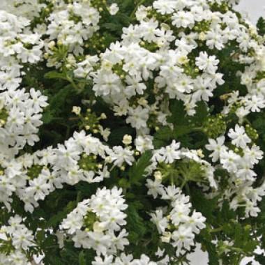 Вербена Estrella White фото