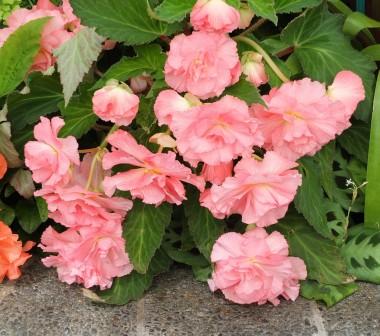 Бегонія Cascade Pink фото цена