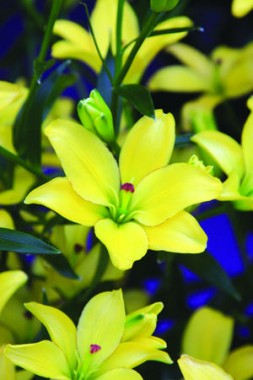 Лілія Yellow Cocotte купить онлайн
