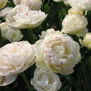 Тюльпан Danceline  купить онлайн