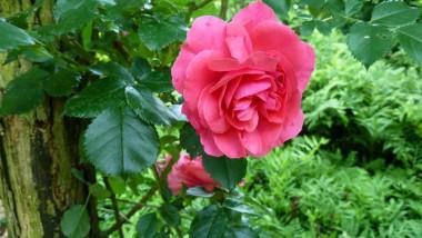 Троянда Rosarium Uetersen купить онлайн