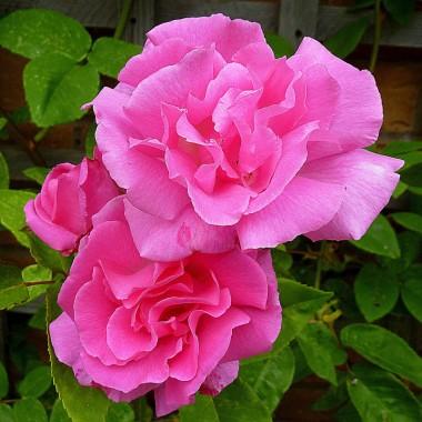 Троянда Zephrine Drouhin в киеве