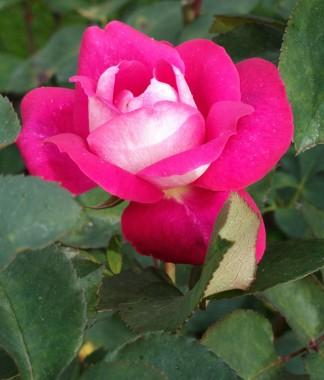 Троянда Acapella фото