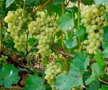 Виноград Плевен почтой