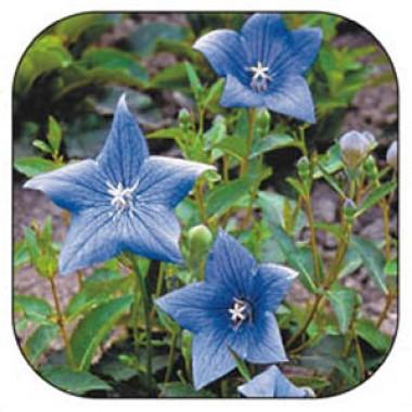 Платикодон Гаваї блакитний фото