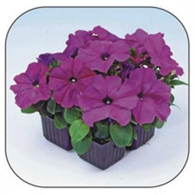 Петунія Танго фіолетова фото цена