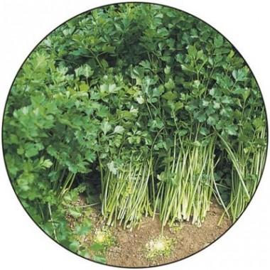 Селера листова фото