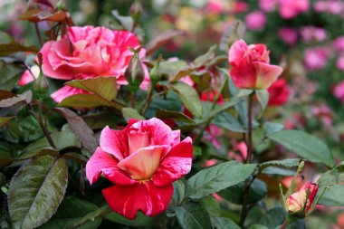 Троянди Харкнесc