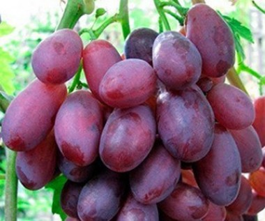 Виноград Дунав в киеве
