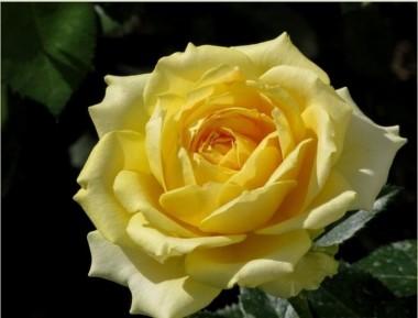 Троянда Marseliesborg фото