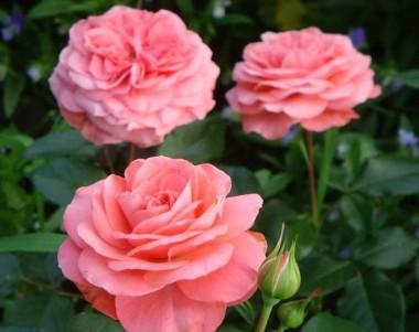 Троянда Schackenborg фото цена