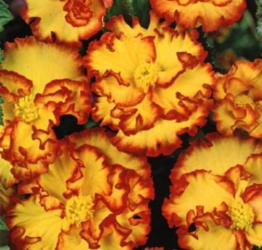 Бегонія Crispa Marginata жовто-червона  фото цена