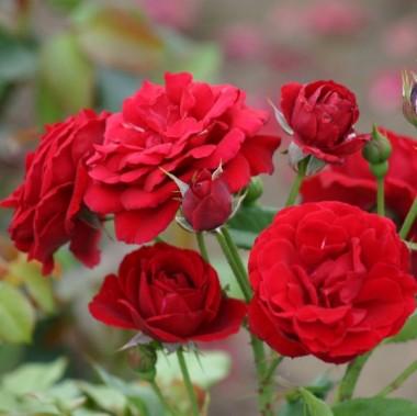 Троянда Nina Weibull фото цена