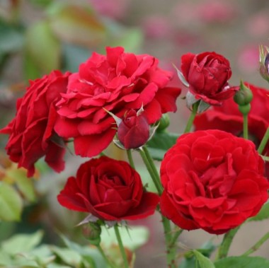 Троянда Nina Weibull почтой