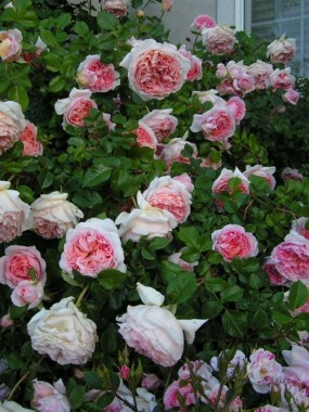 Троянда Abraham Derby смотреть