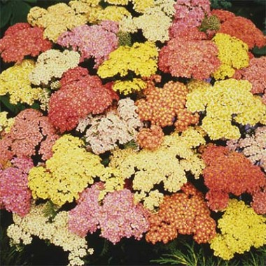 Деревій Summer Pastels описание