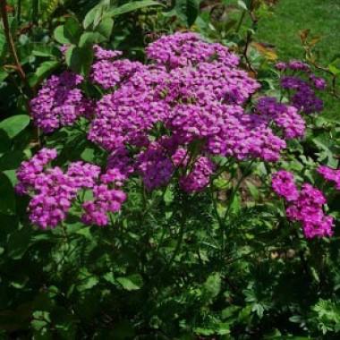 Деревій Lilac Beauty фото цена