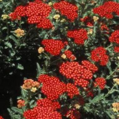 Деревій Red Velvet почтой