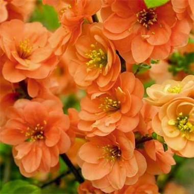 Хеномелес Orange Trail купить онлайн