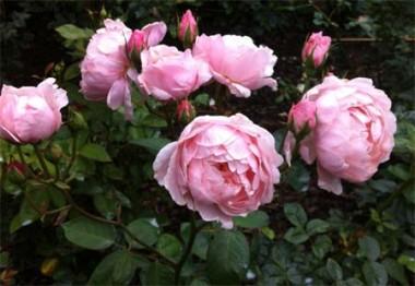 Троянда The Alnwick купить онлайн