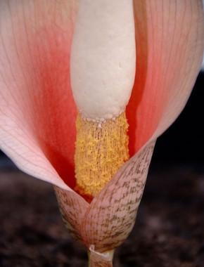 Аморфофаллус Bulbifer фото
