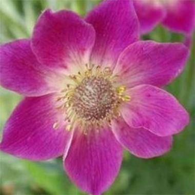 Анемона Anabella Deep Rose смотреть