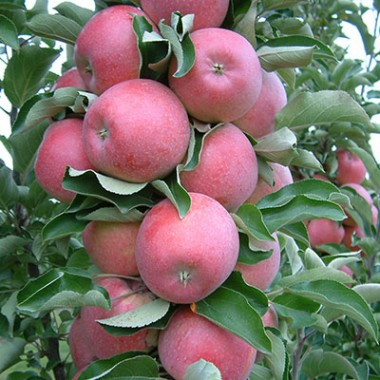 Яблуня колоновидна Антей описание