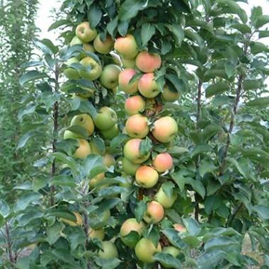 Яблуня колоновидна Едем смотреть