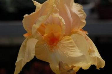 Ірис Apricot Silk описание