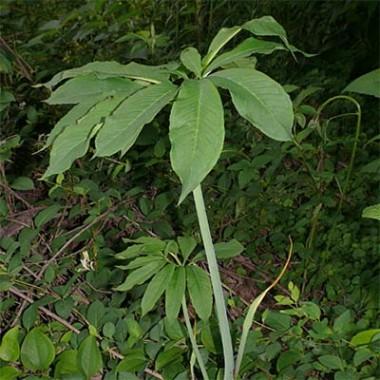 Арізема Draconitum фото цена