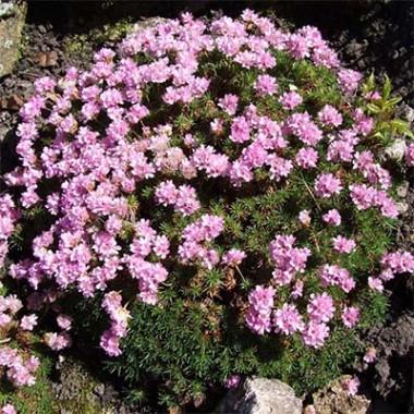 Армерія Juniperifolia смотреть